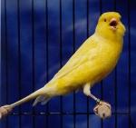 canary-border-fancy2